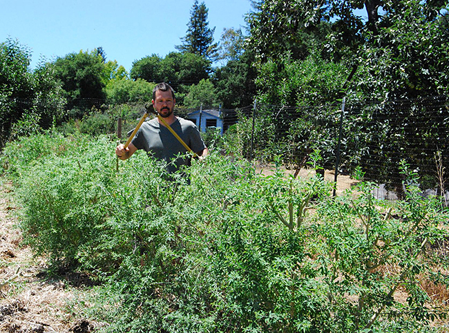 Redwood Hill Farm Manager Scott Bice shearing the tagasaste hedges