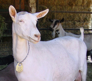 A saanen dairy goat at Redwood Hill Farm Capracopia that exemplifys fine breed type—a nod to the history of the Saanen dairy goat.