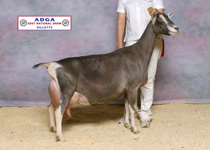 """Amicale"" pictured at the ADGA National Show was awarded National Champion Alpine in 2007."