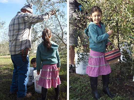 Bice family picking the first Olive harvest