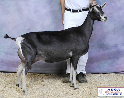 Redwood Hill Farm's Rima at ADGA National Show