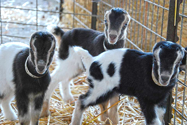 LaMancha goat kids at Redwood Hill Farm