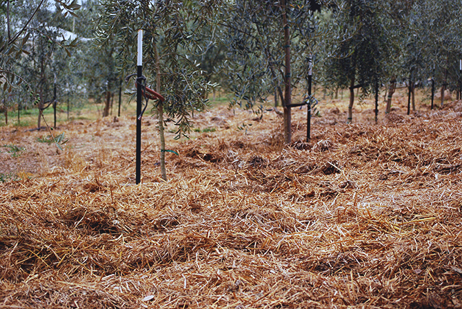 A layer of compost covers the olive orchard