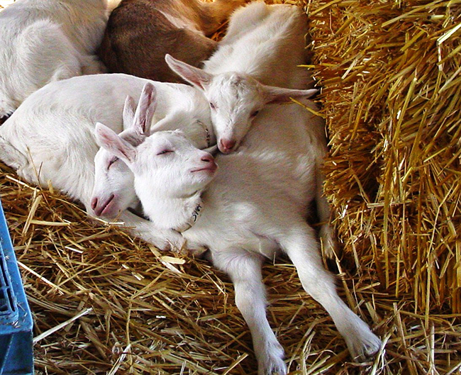 Goat kids like to cuddle together when sleeping