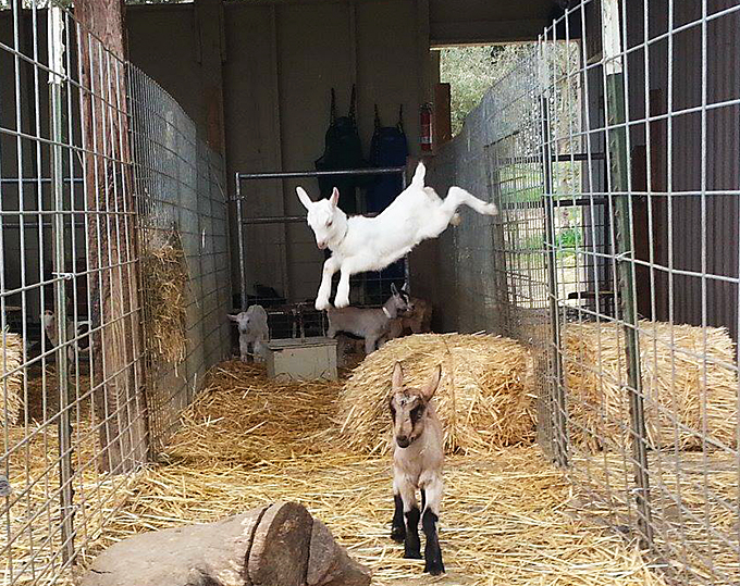 Baby goats are very nimble and adventurous