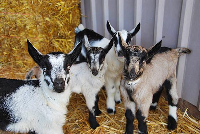 Quadruplet Alpine goat kids