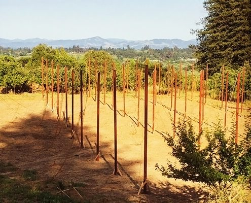 The freshly planted hops yard at Redwood Hill Farm