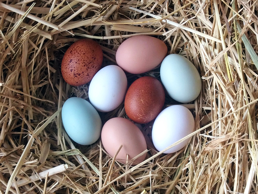 At Redwood Hill Farm we have chickens that lay blue eggs, and green, brown, speckled and white too!