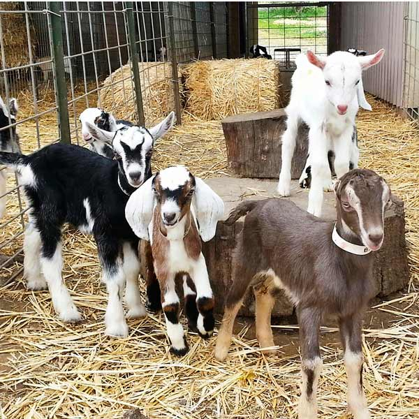 Contact us and reserve a farm tour this pen of newborn goat kids seem to be saying.