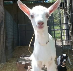 Dairy goats are our passion! This Saanen goat kid will receive a lot of TLC in her years at Redwood Hill Farm.