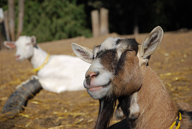 A picture of Zimba resting in the sun at Redwood Hill Farm.