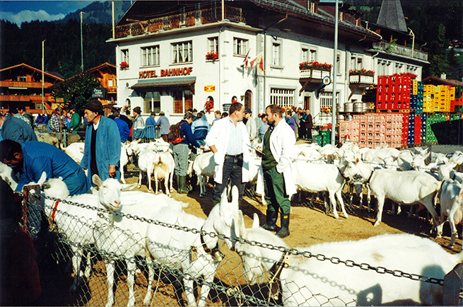 The annual appraisal of a large herd of goats—an important part of the history of the Saanen dairy goat in Switzerland
