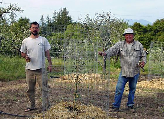 Redwood Hill Farm ~ Capracopia olive orchard installation with Farm Manager Scott Bice and Dad Ken Bice