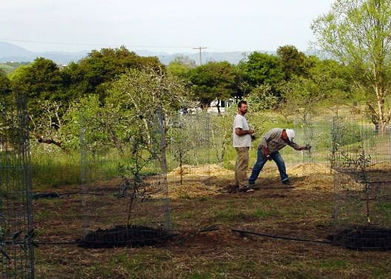 Planting our first Tuscan olive oil trees
