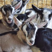 Redwood Hill Farm baby goat kids snuggling together