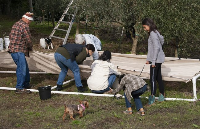 The Bice family working together to bring in the olive harvest