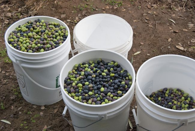Buckets of olives awaiting the press during our olive harvest