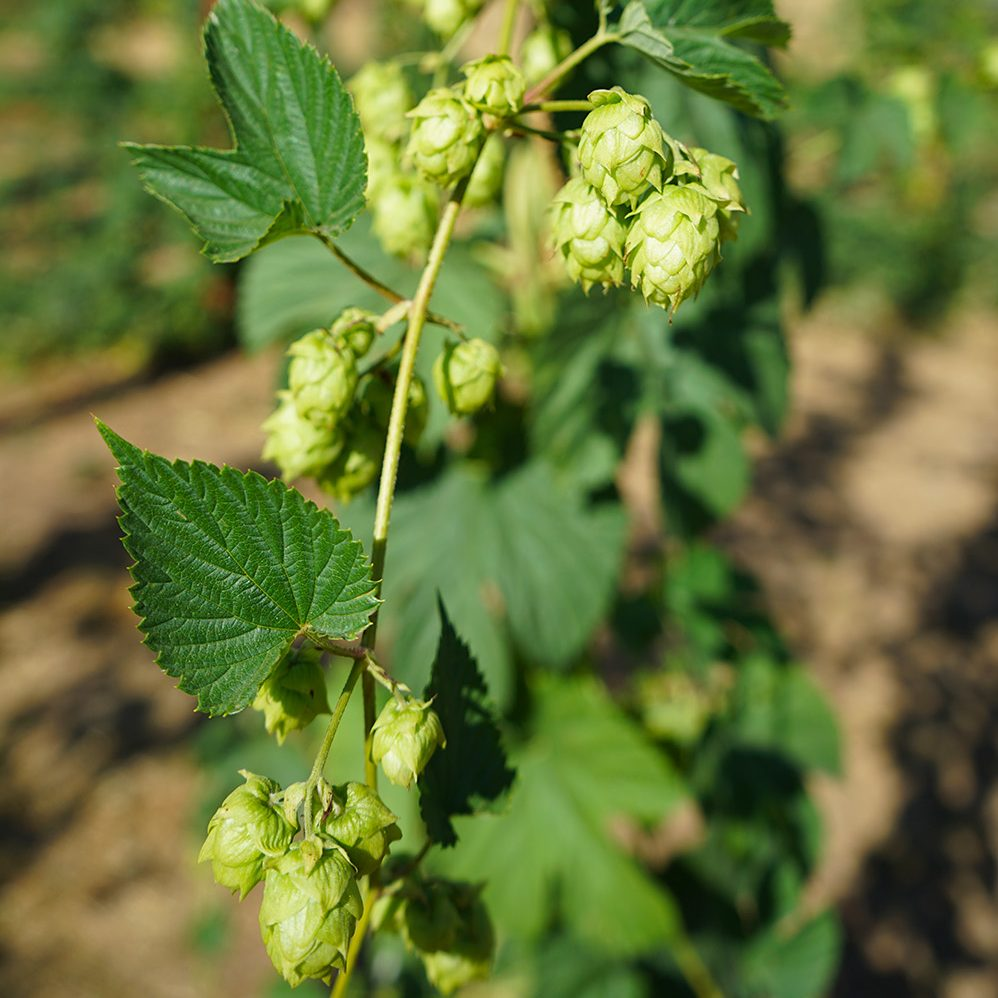 Hops field in full bud
