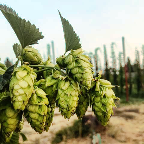 Closeup of mature Cascade hop cones