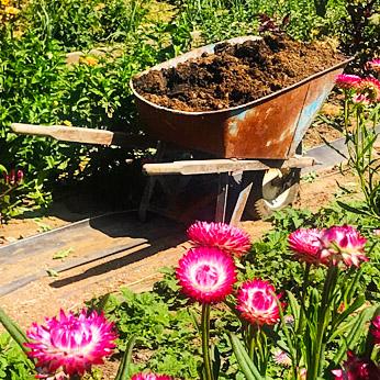 Goat compost in wheelbarrow headed for the flower garden