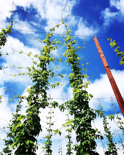 Hop bines reaching skyward